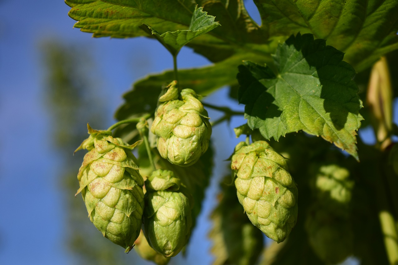 New Season Australian Hops have arrived!